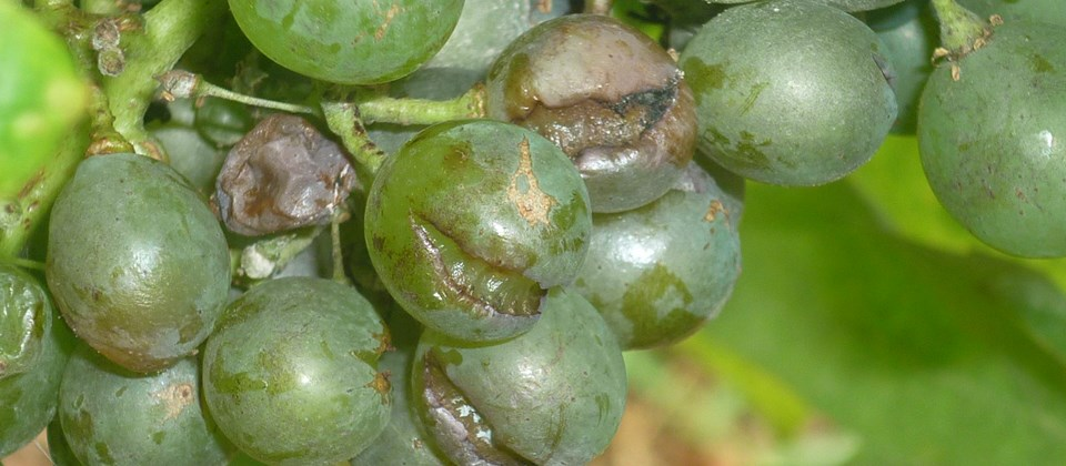 An ozone generator against the mildew of the vine 3